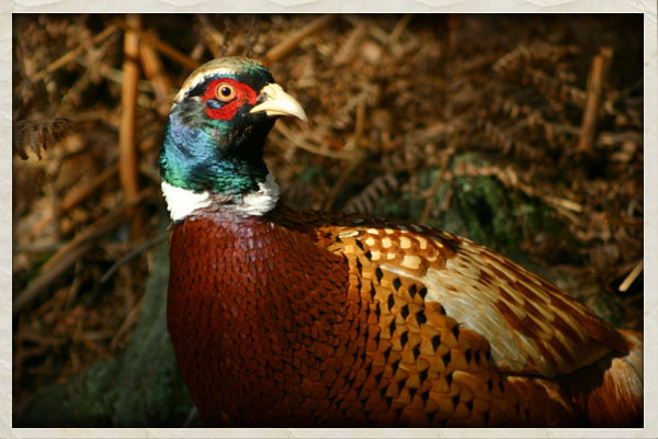 south dakotas state bird the chinese ring necked pheasant