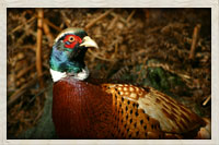 South Dakotas State bird the Chinese ring-necked pheasant
