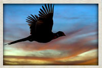Chinese ring neck pheasant in flight toward the end of the day