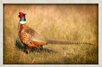 Chinese ring neck pheasant on the run