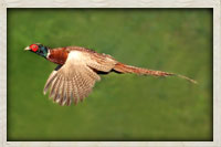 Chinese ring neck pheasant in flight